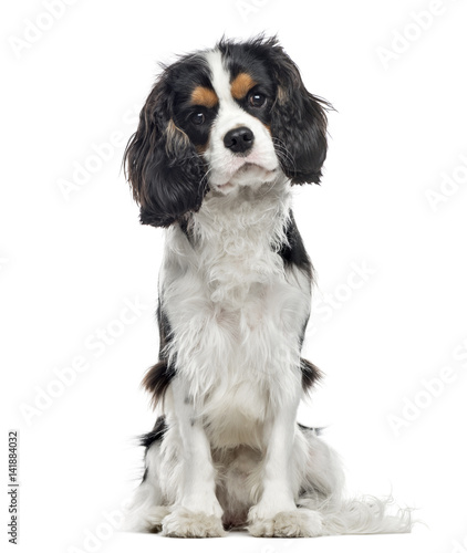 Fotografía Cavalier King Charles Spaniel sitting, 10 months old , isolated