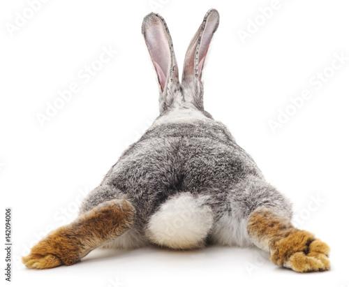 Leinwand Poster Grey rabbit.