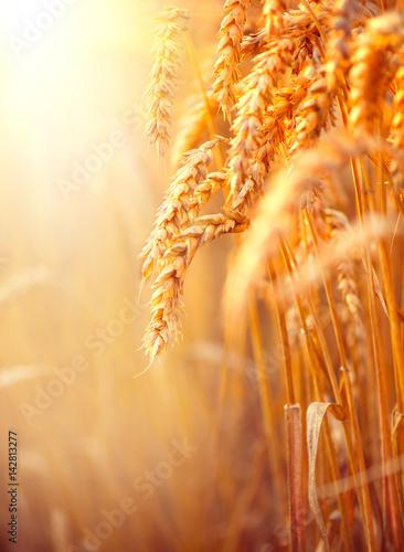 Wheat field. Ears of golden wheat closeup. Harvest concept