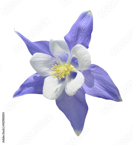 Stampa su Tela Aquilegia flower