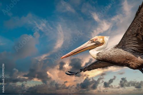 Slika na platnu Pelican while flying at sunset
