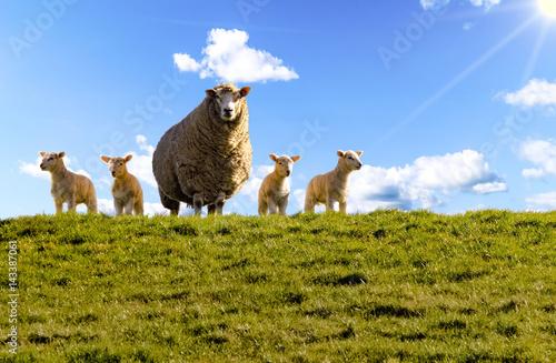 Schafe, Deich, Lämmer, Dagebüll