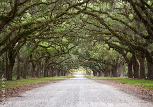 Fotografija A Mossy Live Oak Tree Tunnel