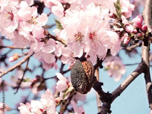 Almond tree Fototapete