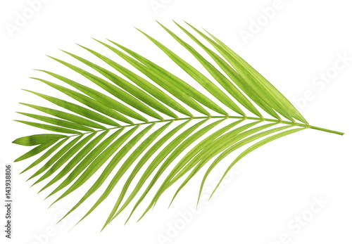 Green coconut leaf isolated