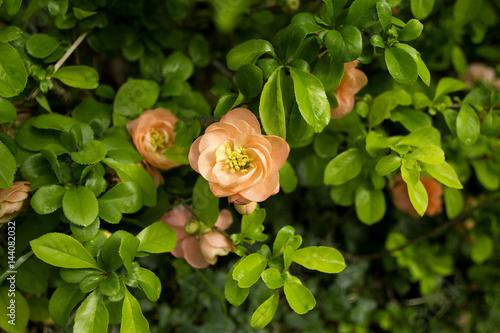 Canvas cognassier du japon en fleur au printemps avec de la rosée