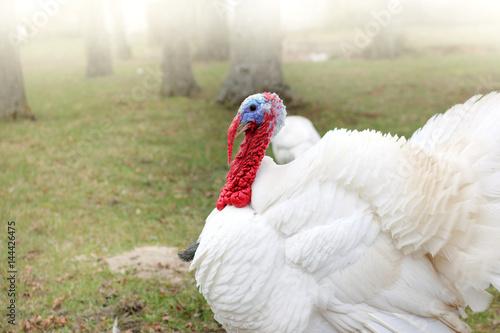 rural living bird/ lush white turkey with red beak is walking in the garden