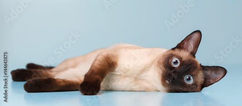 Fotografia Siamese cat lying and looking at us.