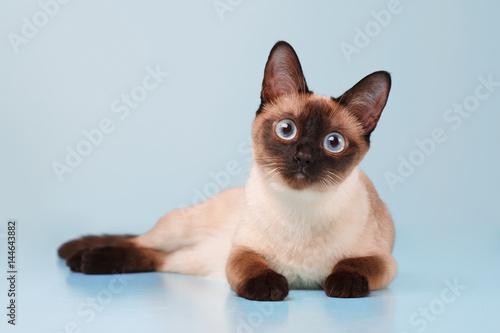 Obraz na płótnie Siamese cat lying and looking at us.