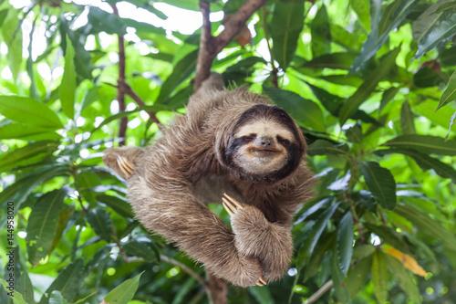 Wallpaper Mural Sloth
