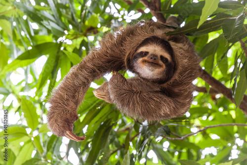 Fototapeta The sloth on the tree
