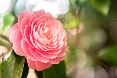 Fotomural camellia blooming in the spring.