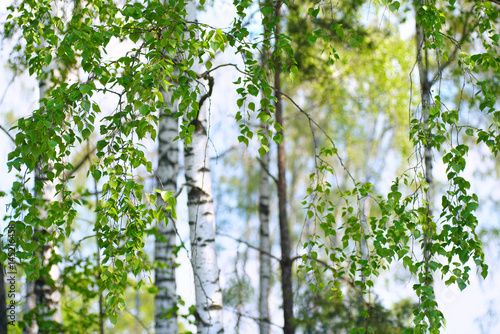 Young slim thin birch trees in the spring in the forest. Branches of birch trees with young juicy leaves in the summer sun in the open air.