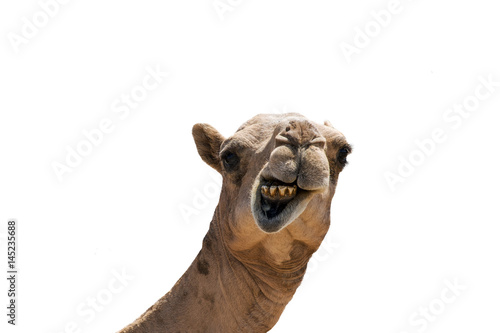 Fotografia funny looking smiling camel isolated on a white background