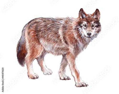 Akwarela zwierzę pojedynczego wilka na białym tle ilustracji.