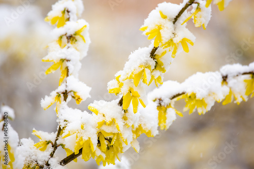 Yellow forsythia covered by snow. Fototapet