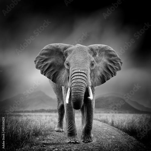 Naklejki na drzwi Czarno-biały obraz słonia