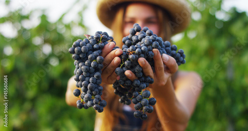 girl in September to harvest vineyards , collects the selected grape bunches in Italy for the great harvest Fototapet