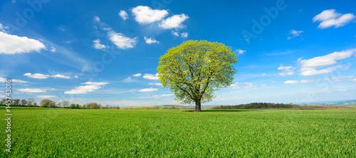 Einzelner Baum, grünes Feld, blauer Himmel, weiße Wolken, Landschaft mit Kastanie im Frühling