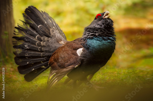 Capercaillie male in the nature habitat in bavarian forest national park/european nature/great birding story