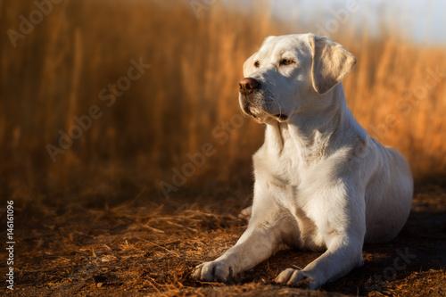 Canvas Print Schöner labrador retriever hund welpe liegt vor einem kornfeld in der sonne