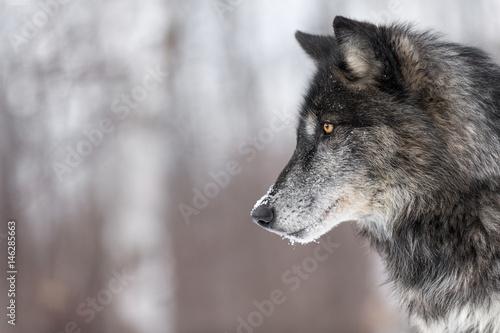 Fototapeta premium Przestrzeń kopii profilu czarny wilk faza (Canis lupus)