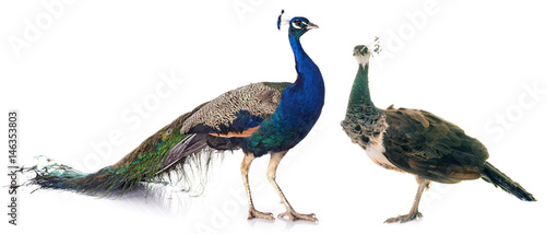 Fotografia peacock in studio