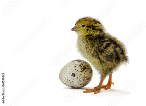 Fotografia Nestling quail is waiting for its siblings