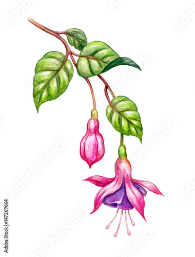 Canvas-taulu watercolor floral botanical illustration, green leaves, wild garden pink fuchsia
