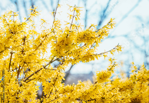 Fotografie, Tablou Forsythia flowers in front of with green grass and blue sky