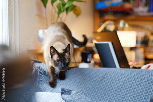 Stampa su Tela Portrait of a Siamese cat sitting on the back of a sofa in the office