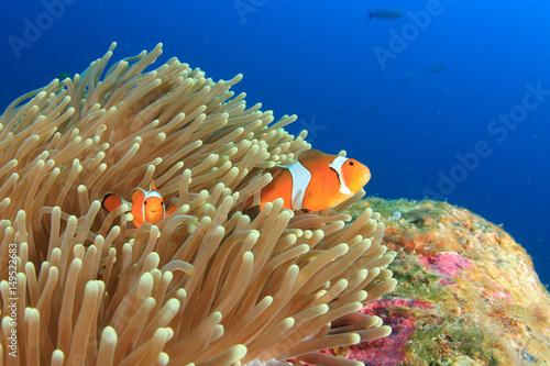 Cuadros en Lienzo Clown Anemonefish clownfish fish