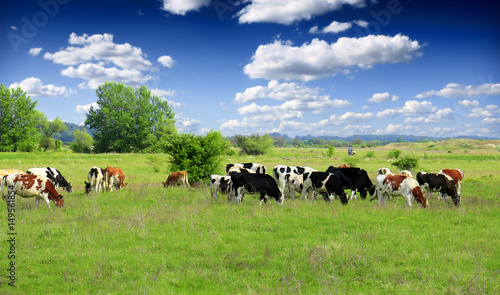 Stampa su Tela Cows grazing on pasture