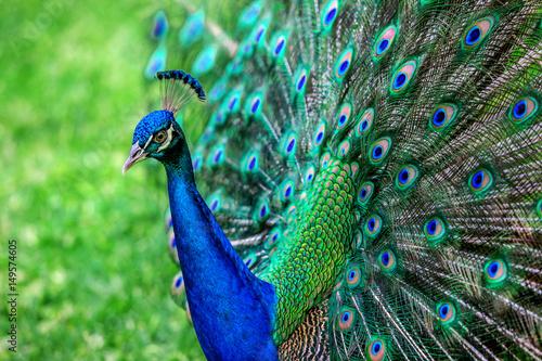 Carta da parati peacock with spread wings