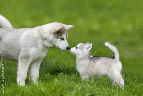 Canvas Print Cute little husky puppy