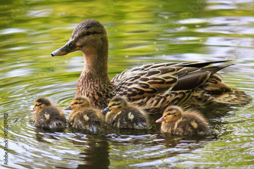 duck, Baby duckling Fototapet