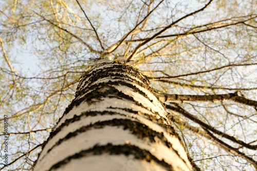 Bottom view of birch in sunlight in the spring morning. Close-up.
