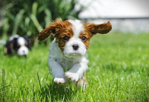 Canvas-taulu Cavalier King Charles spaniel puppy in garden