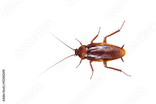 Insect cockroach isolated on a white background.