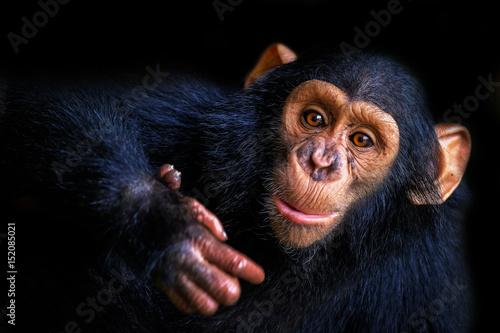 Tableau sur Toile Chimpanzee