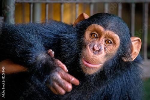 Obraz na plátne Chimpanzee