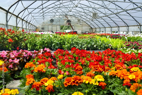 Fototapeta Blooming multi-colored flowers at the greenhouse.
