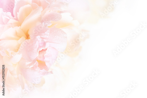 A gorgeous floral background with delicate petals of a blooming peony.