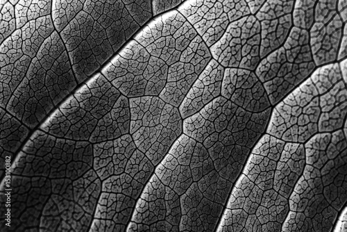 Infrared Leaf Texture With Visible Stomata Covering The Outer Epidermis Layer