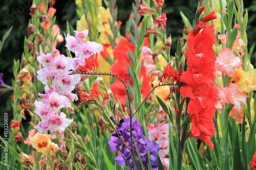 Photo gladiolus gladioli flower growing spring summer, Gladiolus is a genus of perennial cormous flowering plants in the iris family