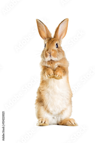 Fototapeta The funny rabbit is standing on its hind legs