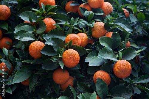 Bitter orange tree (Citrus aurantium) in Cordoba, Andalusia, Spain.