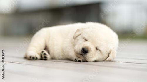 Canvas Print Little yellow puppy