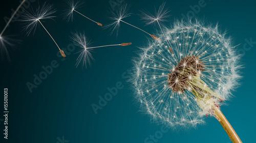 Fototapeta premium Zbliżenie nasion mniszka lekarskiego na niebieskim tle naturalnych