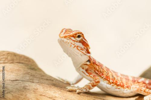 Bearded Dragon (Pogona vitticeps)